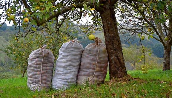 Sacos de manzana para sidra